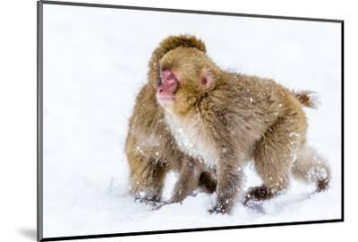 Japanese Macaques (Snow Monkeys) (Macata Fuscata), Japan-Andrew Sproule-Mounted Photographic Print
