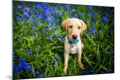 Labrador in Bluebells, Oxfordshire, England, United Kingdom, Europe-John Alexander-Mounted Photographic Print