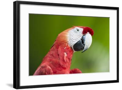Scarlet Macaw (Ara Macao), Amazon, Brazil, South America-G&M Therin-Weise-Framed Photographic Print