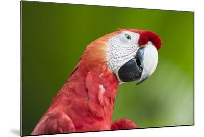 Scarlet Macaw (Ara Macao), Amazon, Brazil, South America-G&M Therin-Weise-Mounted Photographic Print