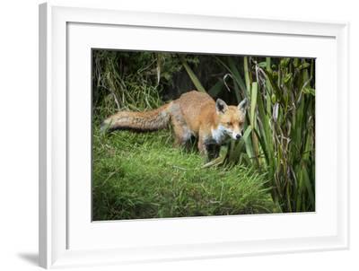 Red Fox (Vulpes Vulpes), Devon, England, United Kingdom, Europe-Janette Hill-Framed Photographic Print