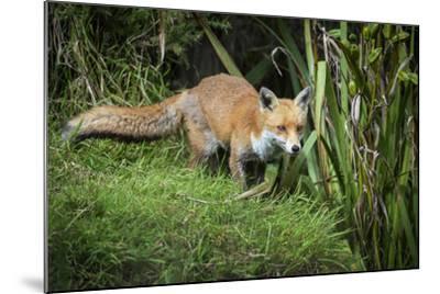 Red Fox (Vulpes Vulpes), Devon, England, United Kingdom, Europe-Janette Hill-Mounted Photographic Print