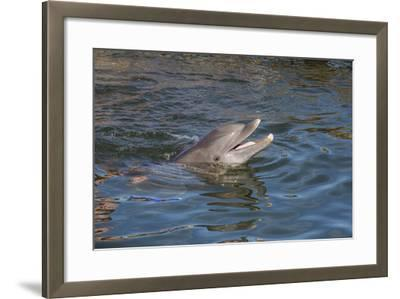 Bottlenose Dolphin, Tursiops Tursiops, Grassy Key, Florida, United States of America, North America-Michael Runkel-Framed Photographic Print