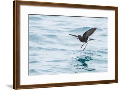 Adult Wilson's Storm Petrel (Oceanites Oceanicus), South Georgia, Polar Regions-Michael Nolan-Framed Photographic Print