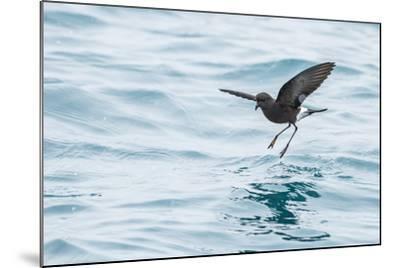 Adult Wilson's Storm Petrel (Oceanites Oceanicus), South Georgia, Polar Regions-Michael Nolan-Mounted Photographic Print