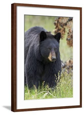 Black Bear (Ursus Americanus), Yellowstone National Park, Wyoming, United States of America-James Hager-Framed Photographic Print