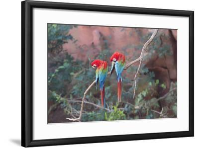 Red-And-Green Macaws (Ara Chloropterus) Perched on a Branch in Buraco Das Araras, Brazil-G&M Therin-Weise-Framed Photographic Print