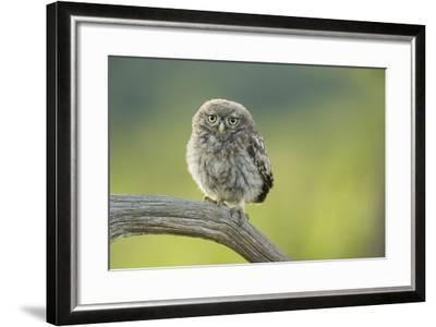 Little Owl (Athene Noctua), Yorkshire, England, United Kingdom, Europe-Kevin Morgans-Framed Photographic Print