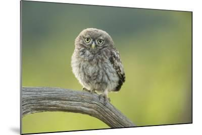 Little Owl (Athene Noctua), Yorkshire, England, United Kingdom, Europe-Kevin Morgans-Mounted Photographic Print