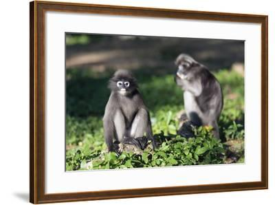 Dusky Langur Monkey (Trachypithecus Obscurus), Prachuap Kiri Khan, Thailand, Southeast Asia, Asia-Christian Kober-Framed Photographic Print