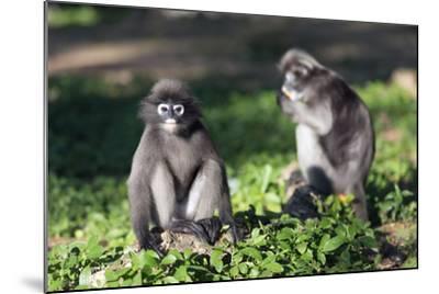 Dusky Langur Monkey (Trachypithecus Obscurus), Prachuap Kiri Khan, Thailand, Southeast Asia, Asia-Christian Kober-Mounted Photographic Print
