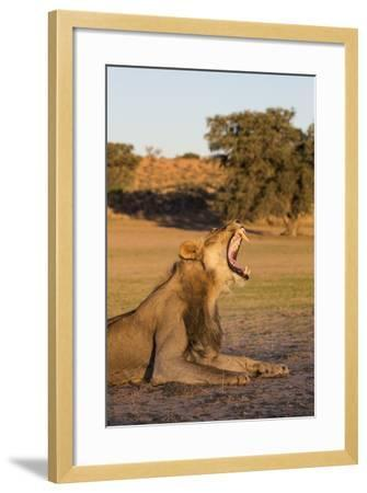 Male Lion (Panthera Leo) Yawning, Kgalagadi Transfrontier Park, Northern Cape, South Africa, Africa-Ann & Steve Toon-Framed Photographic Print