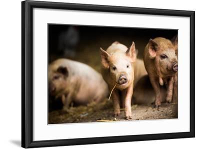 Piglet, Hertfordshire, England, United Kingdom, Europe-John Alexander-Framed Photographic Print