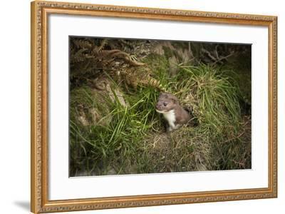 Pine Marten, Mustalid, United Kingdom, Europe-Janette Hill-Framed Photographic Print