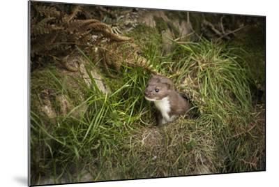 Pine Marten, Mustalid, United Kingdom, Europe-Janette Hill-Mounted Photographic Print
