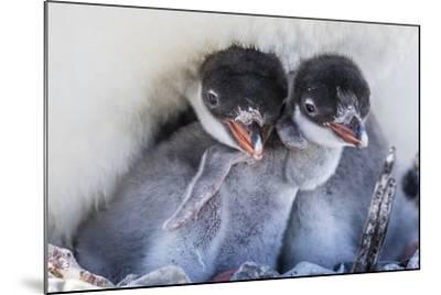 Gentoo Penguin (Pygoscelis Papua) Adult on Nest-Michael Nolan-Mounted Photographic Print