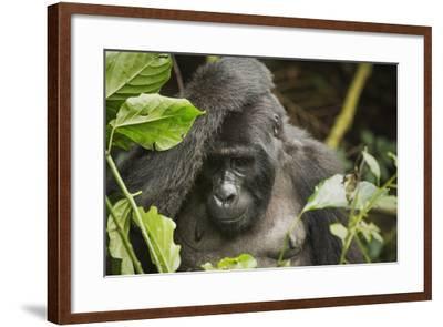 Mountain Gorilla, Bwindi Impenetrable National Park, Uganda, Africa-Janette Hill-Framed Photographic Print