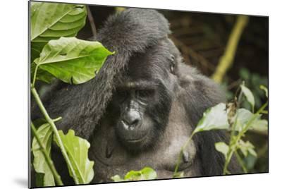 Mountain Gorilla, Bwindi Impenetrable National Park, Uganda, Africa-Janette Hill-Mounted Photographic Print