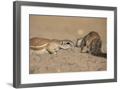 Ground Squirrels (Xerus Inauris), Kgalagadi Transfrontier Park, Northern Cape, South Africa, Africa-Ann & Steve Toon-Framed Photographic Print