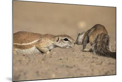 Ground Squirrels (Xerus Inauris), Kgalagadi Transfrontier Park, Northern Cape, South Africa, Africa-Ann & Steve Toon-Mounted Photographic Print