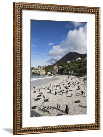 African Penguins (Spheniscus Demersus) on Foxy Beach, Simon's Town, Cape Town-Ann & Steve Toon-Framed Photographic Print