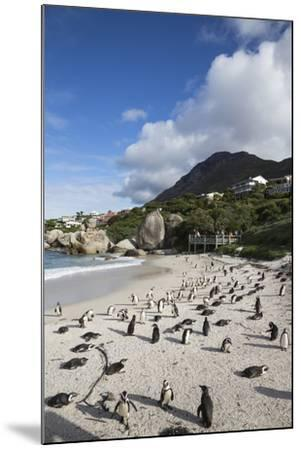 African Penguins (Spheniscus Demersus) on Foxy Beach, Simon's Town, Cape Town-Ann & Steve Toon-Mounted Photographic Print
