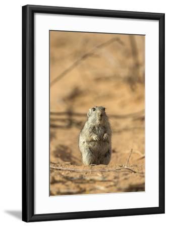 Brant's Whistling Rat (Parotomys Brantsii) in the Kalahari, Northern Cape, Africa-Ann & Steve Toon-Framed Photographic Print