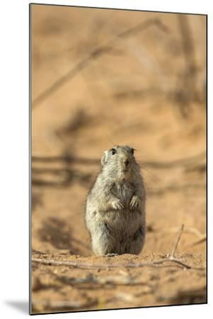 Brant's Whistling Rat (Parotomys Brantsii) in the Kalahari, Northern Cape, Africa-Ann & Steve Toon-Mounted Photographic Print