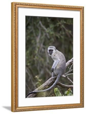 Vervet Monkey (Chlorocebus Aethiops), Kruger National Park, South Africa, Africa-James Hager-Framed Photographic Print