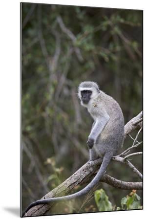 Vervet Monkey (Chlorocebus Aethiops), Kruger National Park, South Africa, Africa-James Hager-Mounted Photographic Print