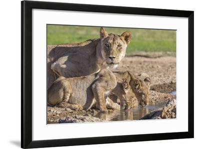 Lioness with Cubs (Panthera Leo) at Water, Kgalagadi Transfrontier Park, Northern Cape, Africa-Ann & Steve Toon-Framed Photographic Print