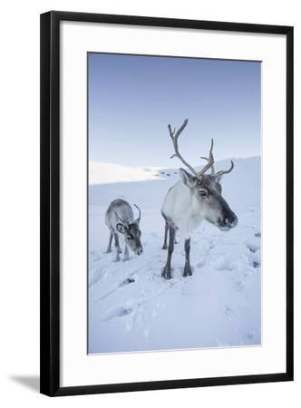 Reindeer (Rangifer Tarandus) Female with Young, Cairngorms National Park, Scotland, United Kingdom-Ann & Steve Toon-Framed Photographic Print