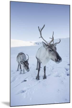 Reindeer (Rangifer Tarandus) Female with Young, Cairngorms National Park, Scotland, United Kingdom-Ann & Steve Toon-Mounted Photographic Print