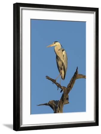 Grey Heron (Ardea Cinerea), Kruger National Park, South Africa, Africa-Ann & Steve Toon-Framed Photographic Print