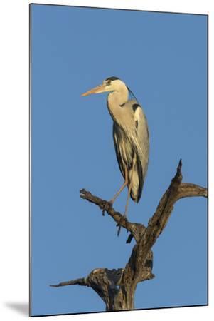 Grey Heron (Ardea Cinerea), Kruger National Park, South Africa, Africa-Ann & Steve Toon-Mounted Photographic Print