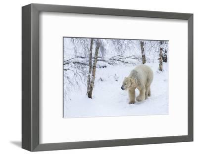 Polar Bear (Ursus Maritimus) Male, Captive, Highland Wildlife Park, Kingussie, Scotland, U.K.-Ann & Steve Toon-Framed Photographic Print