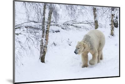 Polar Bear (Ursus Maritimus) Male, Captive, Highland Wildlife Park, Kingussie, Scotland, U.K.-Ann & Steve Toon-Mounted Photographic Print