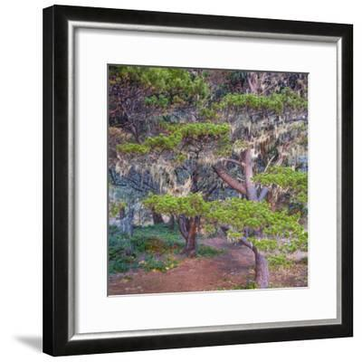 Pines with Hanging Lichens, Pacific Coast, Brookings, Curry County, Oregon, Usa--Framed Photographic Print