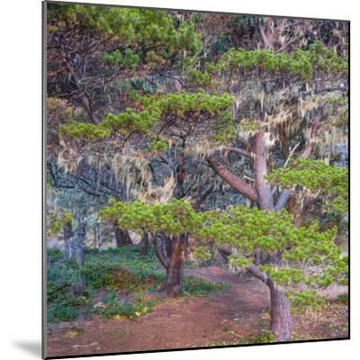 Pines with Hanging Lichens, Pacific Coast, Brookings, Curry County, Oregon, Usa--Mounted Photographic Print