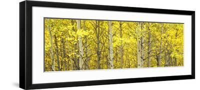 Aspen Grove, Teton Village, Grand Teton National Park, Wyoming, Usa--Framed Photographic Print