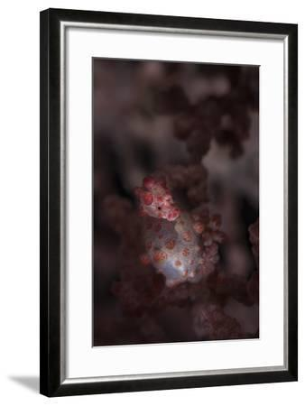 A Pygmy Seahorse Clings to its Symbiotic Gorgonian-Stocktrek Images-Framed Photographic Print