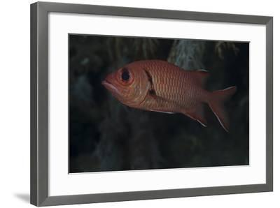 A Bigscale Soldierfish, Fiji-Stocktrek Images-Framed Photographic Print
