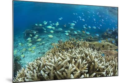 Reef Fishes Amongst Profusion of Hard Plate at Pulau Setaih Island, Natuna Archipelago, Indonesia-Michael Nolan-Mounted Photographic Print