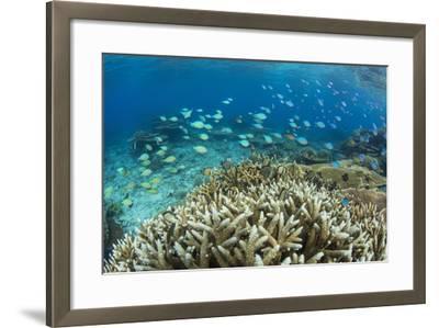 Reef Fishes Amongst Profusion of Hard Plate at Pulau Setaih Island, Natuna Archipelago, Indonesia-Michael Nolan-Framed Photographic Print