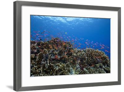 Schooling Anthias Fish and Healthy Corals of Beqa Lagoon, Fiji-Stocktrek Images-Framed Photographic Print