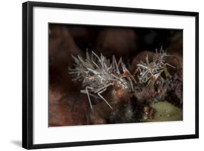 A Pair of Spiny Tiger Shrimp Crawl on the Seafloor-Stocktrek Images-Framed Photographic Print