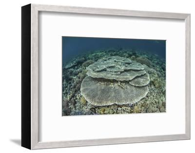 Corals Grow on a Shallow Reef in Indonesia-Stocktrek Images-Framed Photographic Print