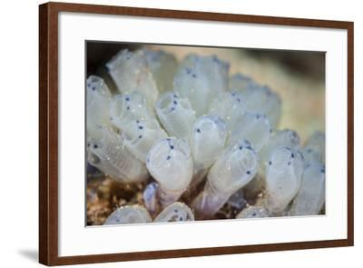 A Beautiful Set of Tiny Tunicates Grows on a Reef in Indonesia-Stocktrek Images-Framed Photographic Print
