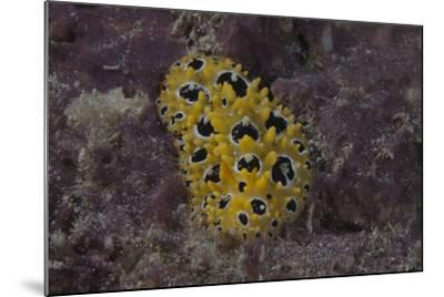 Phyllidia Ocellata Nudibranch-Stocktrek Images-Mounted Photographic Print