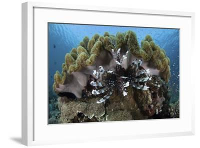 A Lionfish Swims on a Reef in Komodo National Park, Indonesia-Stocktrek Images-Framed Photographic Print